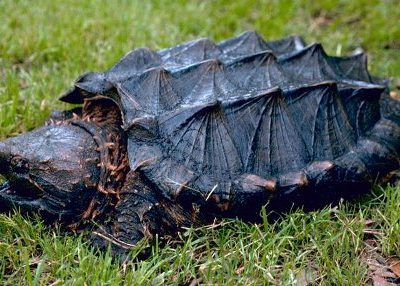 alligatorschildpad