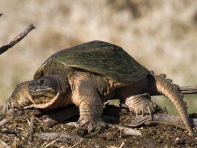 bijtschildpadden