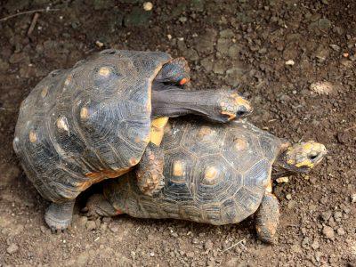 Braziliaanse reuzenschildpad
