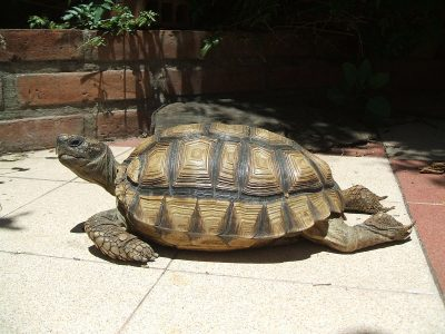 Chileense landschildpad