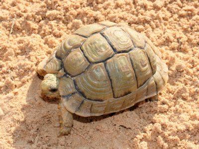 Egyptische landschildpad