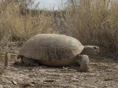 Mexicaanse reuzengopherschildpad
