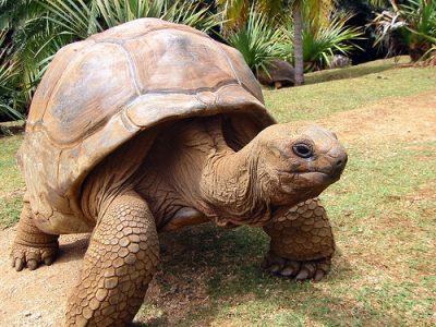 aldabra reuzenschildpad