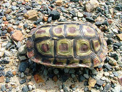 areolenschildpad