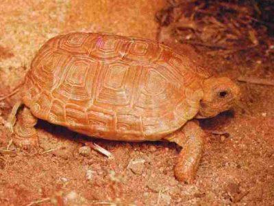 boulengers platte schildpad