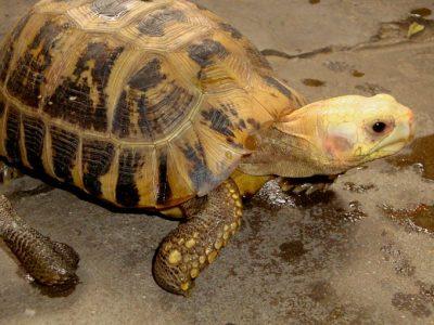 geelkoplandschildpad
