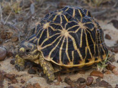 geometrische landschildpad