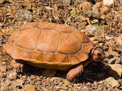 gespoorde platte schildpad