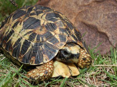 gladrandklepschildpad
