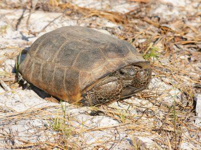 gopherschildpad