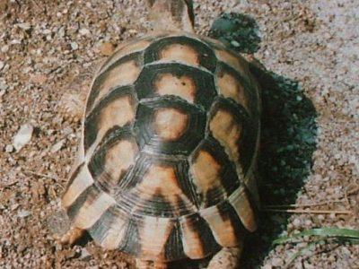 klokschildpad