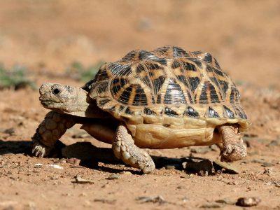 knobbellandschildpad