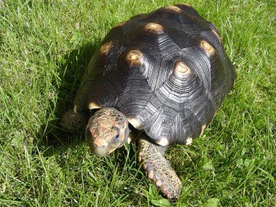 kolenbranderschildpad