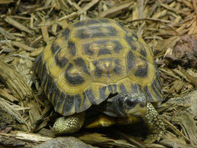 madagaskarplatstaartschildpad