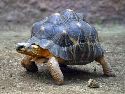 madagaskarschildpad