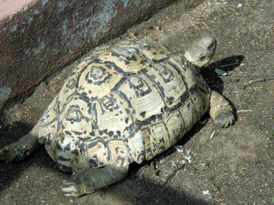 panterschildpad