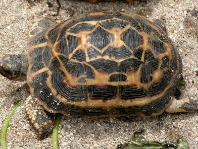 spinschildpad