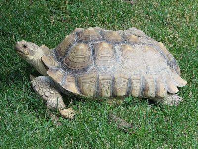 sporenschildpad