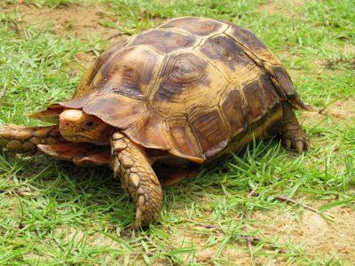 stekelrandklepschildpad