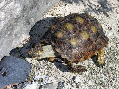 texasschildpad