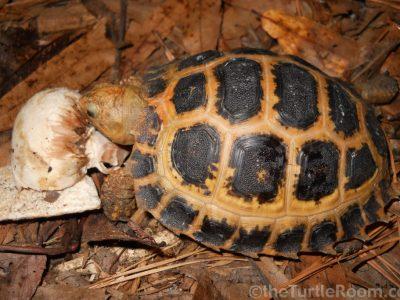 travancore landschildpad