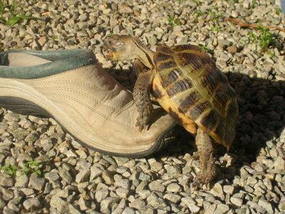 vierteenlandschildpad