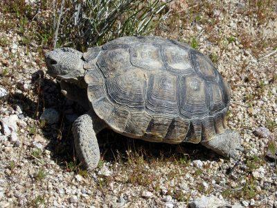 woestijnschildpad