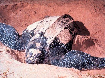 lederschildpadden-2