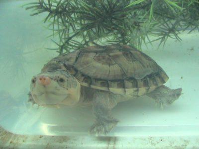 Salvin's modderschildpad