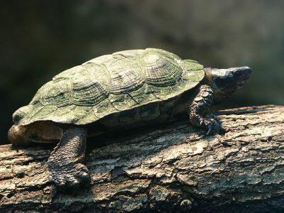 Zuid-Amerikaanse modderschildpad
