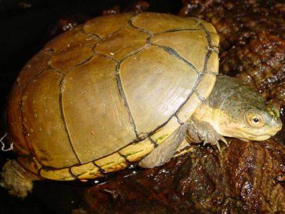 gele modderschildpad