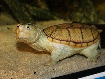 grootkopmodderschildpad
