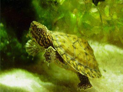 kleine muskusschildpad