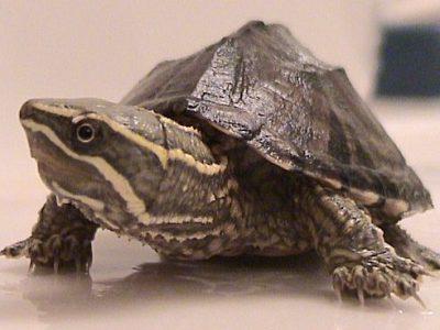modderschildpadden