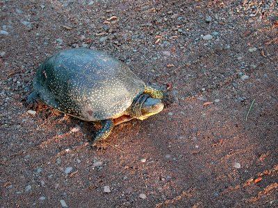 Amerikaanse moerasschildpad