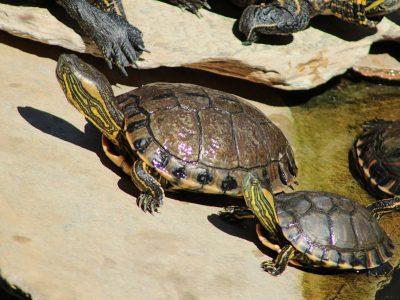 Braziliaanse sierschildpad