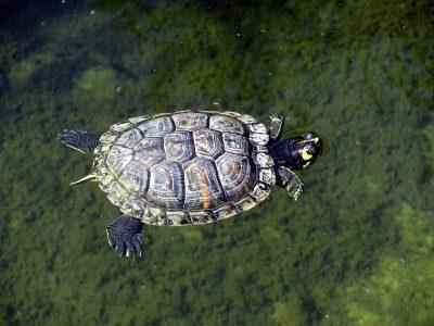 Florida sierschildpad