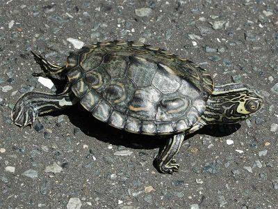 barbours landkaartschildpad