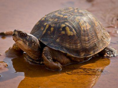 carolina-doosschildpad