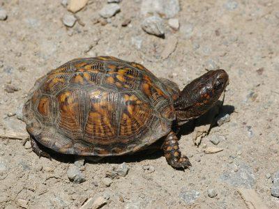 gewone doosschildpad
