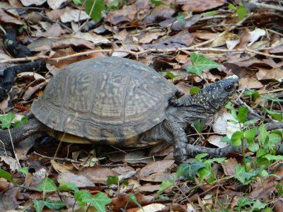 grote doosschildpad