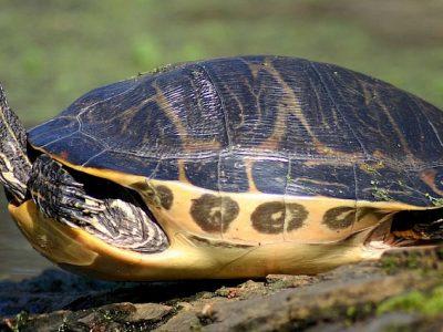hiëroglyfensierschildpad