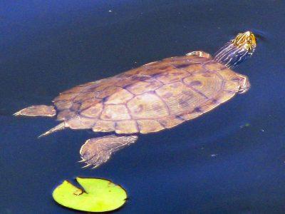 landkaartschildpad