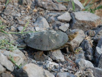 marmerschildpad