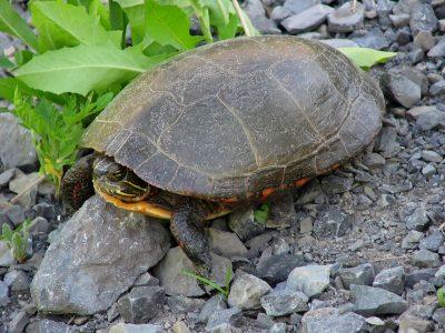 midland sierschildpad