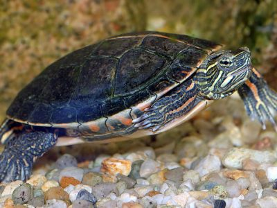 moerasschildpadden