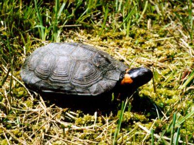 muhlenbergs schildpad
