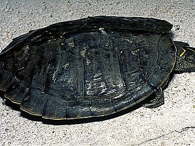 onechte landkaartschildpad