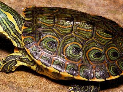 pauwoogsierschildpad