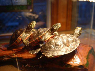 roodbuikschildpad